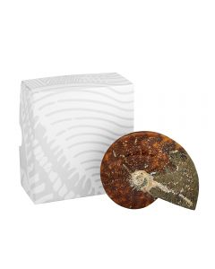 "Ammonite Cleoniceras Madagascar 4-5"" (1pc) NETT"
