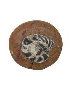 "Ammonite Atlas Mountains Morocco 3""- 4"" (1pc) NETT"