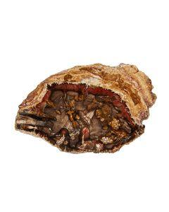 "1-2"" Petrified Wood Slice, Madagascar (1pc) NETT"