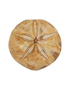 "Polished Sand Dollar (Echinoderm) 3"" (1pc) NETT"