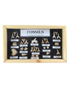 Shark Tooth Collection (1 Piece) NETT