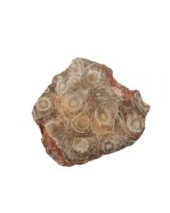 """Coral Top polished Morocco 3-4"""" (1pc) NETT"""