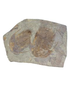 Trilobite Death Bed (53.5cm x 84cm) (1 Piece) NETT