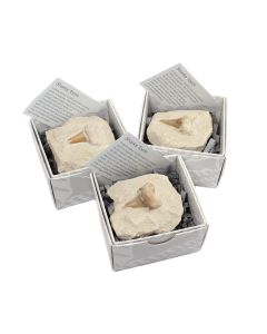 Shark Teeth on Rock Gift Boxed with ID Card (9 Piece) NETT