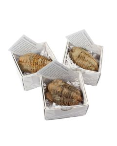 Trilobite Calymene Gift Boxed with ID Card (9 Piece) NETT