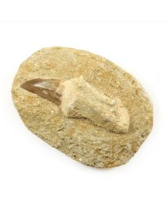 Mosasaur Tooth with Root in Matrix (1pc) NETT