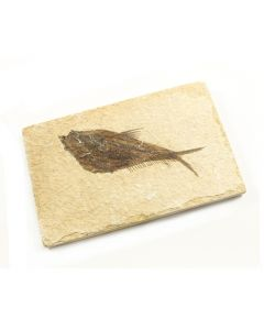 Fossil Fish Wyoming (1pc) NETT