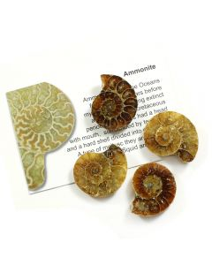 Ammonite Madagascar (50 Piece) NETT