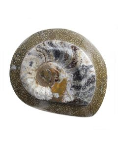"""Polished Ammonite in Frame approx 5"""" (1 Piece) NETT"""